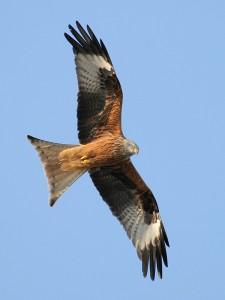 Red Kite in flight.  From http://en.wikipedia.org/wiki/Red_kite#mediaviewer/File:Milvus_milvus_R(ThKraft).jpg
